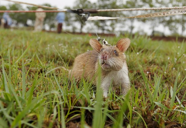 A rat undergoing training to detect mines is pictured on an inactive landmine field in Siem Reap province July 9, 2015. (Photo by Samrang Pring/Reuters)