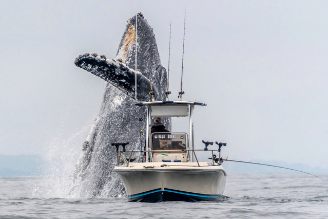 A whale bursts from the waves directly behind a fisherman's boat at Monterey Bay, California in 2019. (Photo by Douglas Croft/Caters News Agency)