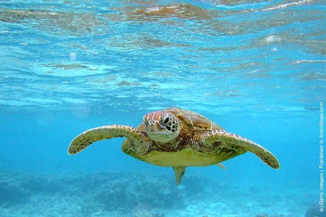 A Hawksbill sea turtle is seen swimming in Lady Elliot Island, Australia