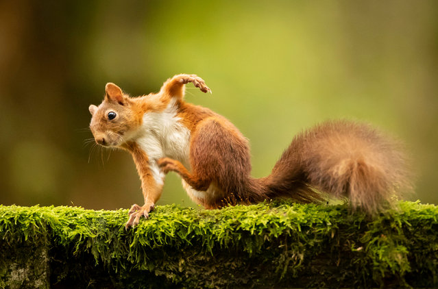 A red squirrel forages for food in preparation for winter in the Widdale red squirrel reserve in North Yorkshire, England on October 18, 2019. The UK Squirrel Accord estimates that there are about 140,000 red squirrels in the UK, years ago there were more than 3m. (Photo by Danny Lawson/PA Images via Getty Images)