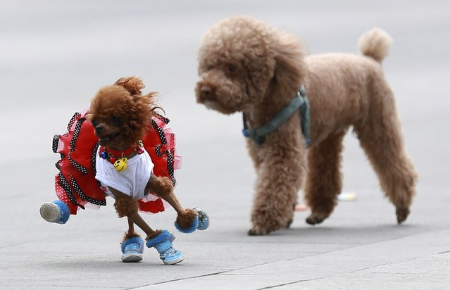 Poodles play at a square in Shenyang, Liaoning province, June 6, 2014. (Photo by Reuters/Stringer)