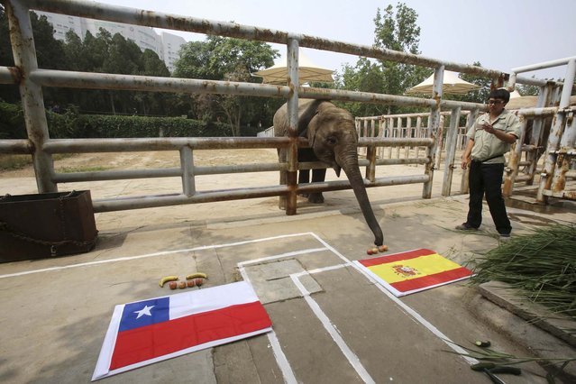 Four-year-old Asian elephant Yalu, reaches for the food in front of a Spanish national flag as it takes part in a World Cup match prediction event ahead of the 2014 Brazil World Cup group match between Spain and Chile, at a zoo in Jinan, Shandong province June 18, 2014. (Photo by Reuters/Stringer)