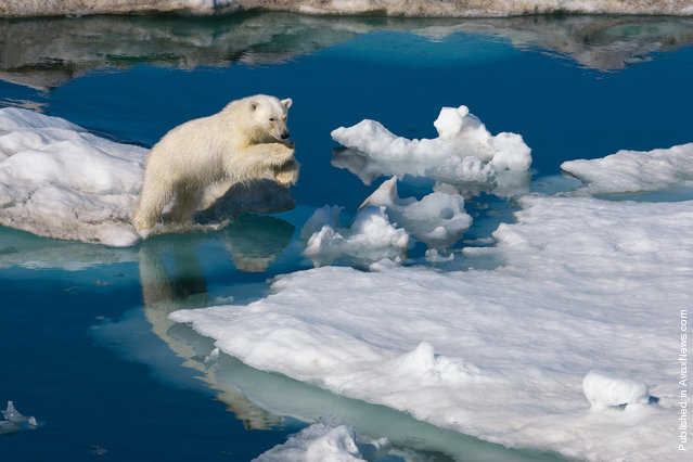 A young polar bear leaps between ice floes