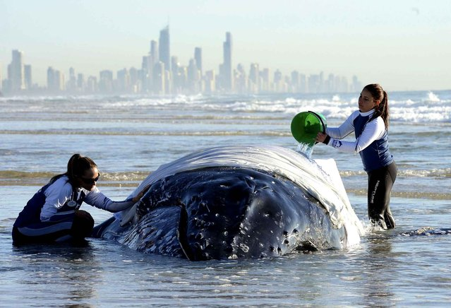 Marine rescue workers from Sea World attempt to help a juvenile humpback whale stranded at Palm Beach on the Gold Coast, in Queensland July 9, 2014. (Photo by Dave Hunt/SIPA Press)