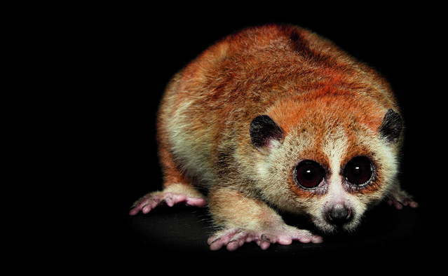 The pygmy slow loris is found in the forests of Southeast Asia. The tree-dwelling primate's eyes are optimized to hunt prey at night. In addition, it has a poisonous bite, which it gets by licking a toxic secretion from glands on the inside of its elbows. (Photo by Traer Scott/Chronicle Books)
