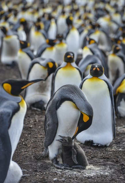 An adult King penguin tends to a youngster as a large colony of King penguins nests on Friday, February 12, 2016, on Volunteer Point, Falkland Islands.  King penguins are the largest of the Falklands penguins, with the bulk of the islands' breeding adults concentrated almost entirely at Volunteer Point.  At an average height of just over three feet tall, King penguins are the second largest species of penguin. Only the Emperor penguin is bigger. (Photo by Jahi Chikwendiu/The Washington Post)