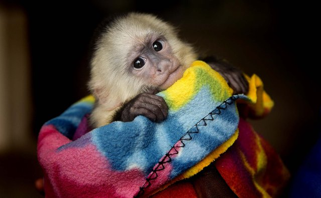 Oliver, a three-month-old white faced capuchin monkey and Miami's Jungle Island newest baby, is shown to the public  December 2, 2012. (Photo by J. Pat Carter/Associated Press)