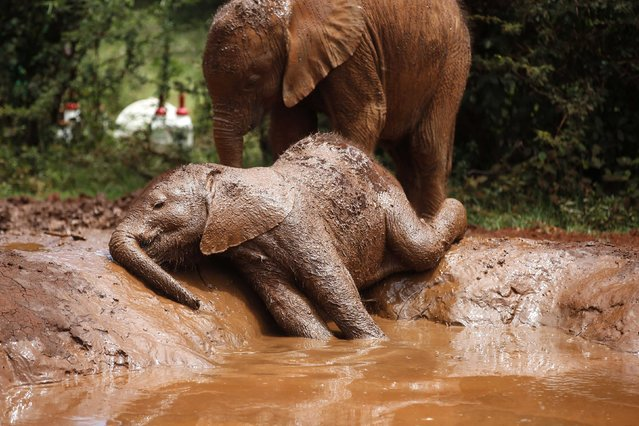 An orphaned baby elephant basks in a mud puddle at the David Sheldrick Elephant Orphanage within the Nairobi National Park, near Kenya's capital Nairobi October 15, 2014. (Photo by Goran Tomasevic/Reuters)