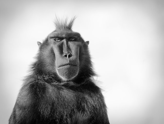 Runner-up, Life in a BIAZA Collection: Return of the Mac(aque), by Chris Townsend at Newquay Zoo, Wild Planet Trust. Species: Sulawesi black crested macaque. (Photo by Chris Townsend/BIAZA 2020 Photography Competition)