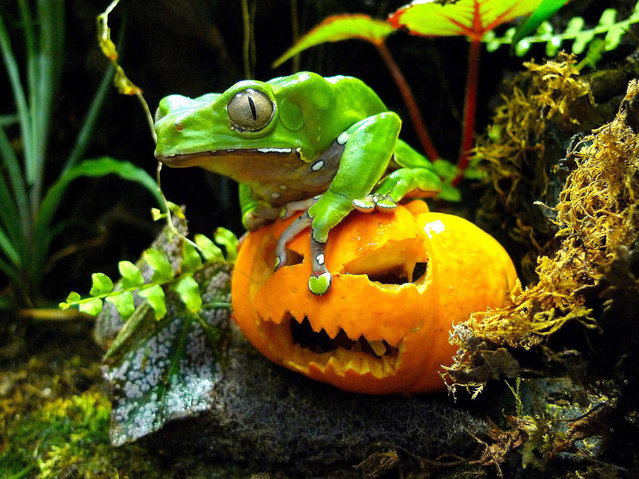 Alfred the frog looks almost as scary as the pumpkin he is perched on at London Zoo 26 October 2011. Keepers at the zoo have joined in the Halloween tradition by supplying pumpkin lunches to some of their animals, including the giant waxy monkey frog.  However Alfred is not quite the giant figure his species name suggests. (Photo by EPA/Zoological Society of London)