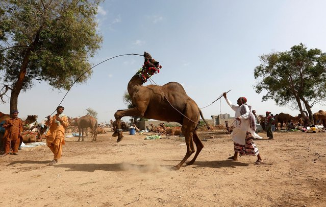 A camel held in ropes by its traders performs a dance to attract customers at a makeshift cattle market, ahead of the Eid al-Adha festival in Karachi, Pakistan September 9, 2016. (Photo by Akhtar Soomro/Reuters)