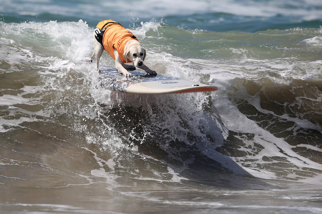 A dog rides a wave during the Surf City Surf Dog competition in Huntington Beach, California, U.S., September 25, 2016. (Photo by Lucy Nicholson/Reuters)