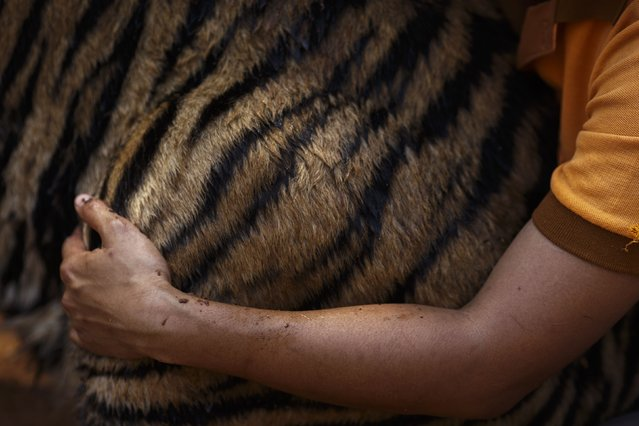 A volunteer hugs a tiger at the Wat Pa Luang Ta Bua, otherwise known as the Tiger Temple, in Kanchanaburi province February 12, 2015. (Photo by Athit Perawongmetha/Reuters)