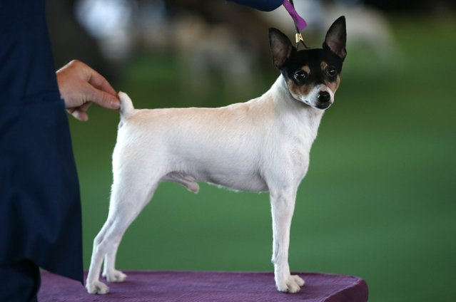 A Toy Fox Terrier stands on the judging platform during judging in the Toy Group at the 139th Westminster Kennel Club's Dog Show in the Manhattan borough of New York February 16, 2015. (Photo by Mike Segar/Reuters)