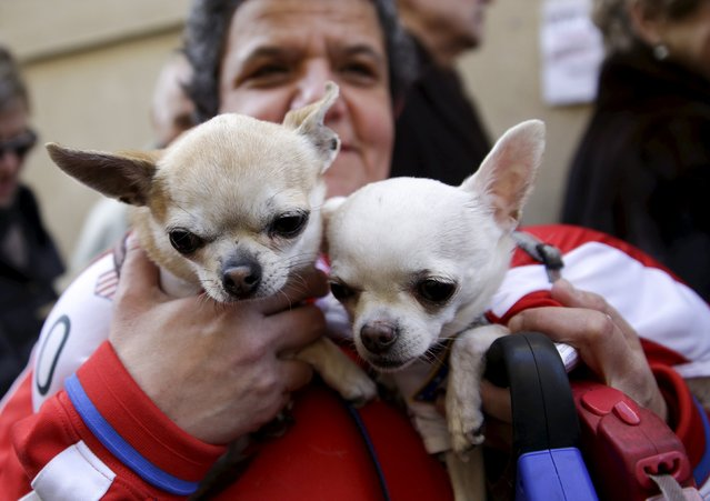 A woman holds her dogs, who are wearing outfits in the colours of Spanish first division soccer club Atletico Madrid, as she waits in line for them to be blessed outside San Anton Church in Madrid, Spain, January 17, 2016. (Photo by Andrea Comas/Reuters)