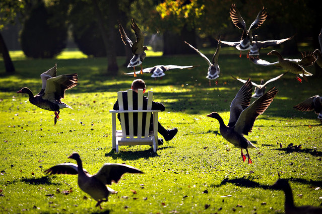 Gray goose take off as a person sits on October 14, 2013 in Hamburg. (Photo by Maja Hitij/AFP Photo/DPA)