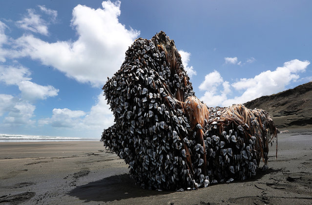 A large driftwood tree covered in gooseneck barnacles sits in the sun on Auckland's west coast on December 12, 2016 in Auckland, New Zealand. The large object washed up on Muriwai beach on Saturday, 10 December. (Photo by Fiona Goodall/Getty Images)
