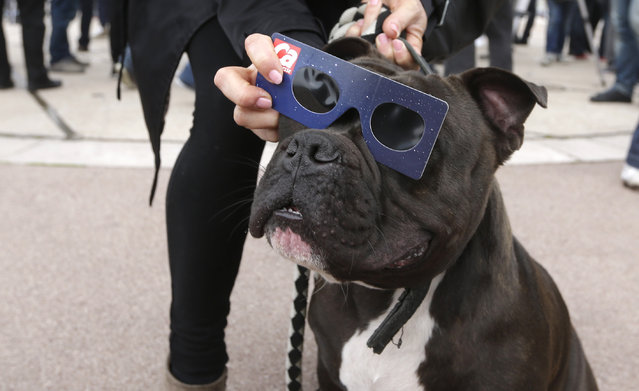 A dog, named Patatte, has protective glasses put on by her owner during a solar eclipse in the sky in Nice, southeastern France, Friday, March 20, 2015. An eclipse is darkening parts of Europe on Friday in a rare solar event that won't be repeated for more than a decade.  (Photo by Lionel Cironneau/AP Photo)