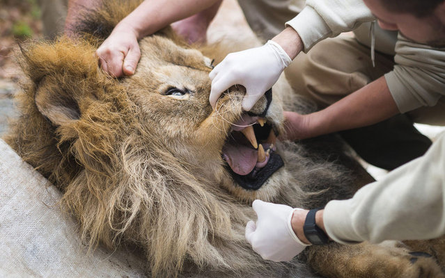 The teeth of Elek, 17, the oldest male lion of Nyiregyhaza Zoo are checked during a general medical examination in Nyiregyhaza, 245 km east of Budapest, Hungary, Tuesday, November 5, 2013. The life span of lions in the wild is eight years on the average, so Elek is highly esteemed in the zoo for his very old age. (Photo by Attila Balazs/AP Photo/MTI)