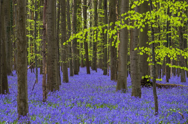 "BELGIUM: Wild bluebells, which bloom around mid-April, turning the forest completely blue, form a carpet in the Hallerbos, also known as the ""Blue Forest"", near the Belgian city of Halle, Belgium April 17, 2016. (Photo by Yves Herman/Reuters)"