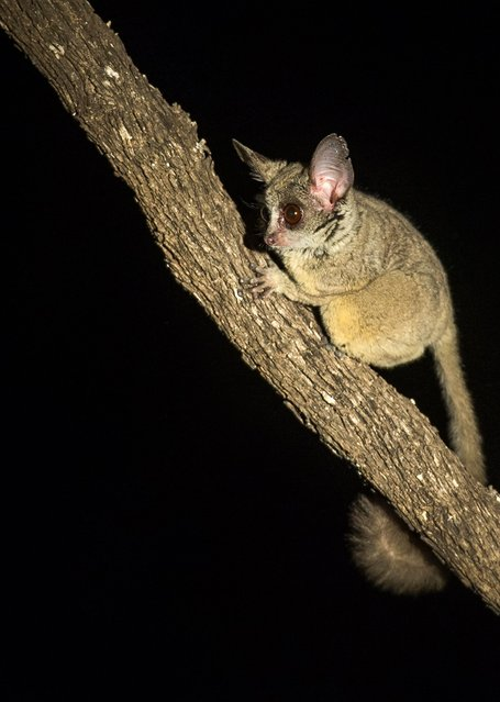 A lesser galago, aka bush baby, looks out from its tree branch post. (Photo by Brendon Cremer/Caters News)