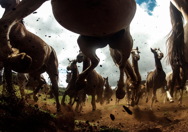 """""""The Power of the Criollos"""". The power of the Criollo horses at the Cabanha Ipuã located in Paranà, Brazil. The Criollo is the native horse of Uruguay (1910), Argentina (1918), Brazil (1932) and Paraguay. It may have the best endurance of any horse breed in the world next to the Arabian. Photo location: Parana, Brazil. (Photo and caption by Chris Schmid/National Geographic Photo Contest)"""