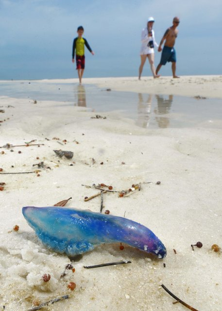 A family walks past a Portuguese man o' war that washed up Thursday, April 9, 2015, at Navarre Beach, Fla. Springtime winds have brought in a variety of gulf jellyfish to the beaches along the Florida panhandle. (Photo by Devon Ravine/AP Photo/Northwest Florida Daily News)