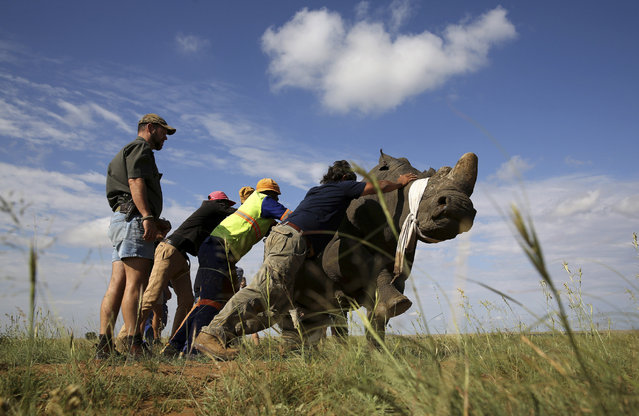 Workers attempt to bring a tranquillised black rhino to the ground before dehorning in an effort to deter the poaching of one of the world's endangered species, at a farm outside Klerksdorp, in the north west province, South Africa, February 24, 2016. (Photo by Siphiwe Sibeko/Reuters)