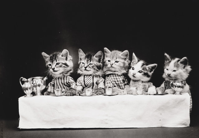Photograph shows five kittens wearing clothes sitting at a table drinking tea, 1914. (Photo by Harry Whittier Frees/Library of Congress)