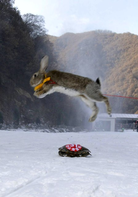 This picture taken on January 12, 2014 shows a pet rabbit and a tortoise competing in a skiing competition in Sanmenxia, north China's Henan province. (Photo by AFP Photo)