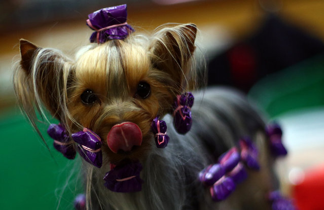 A Yorkshire Terrier is groomed during the final day of the Crufts Dog Show in Birmingham, Britain, March 10, 2019. (Photo by Hannah McKay/Reuters)
