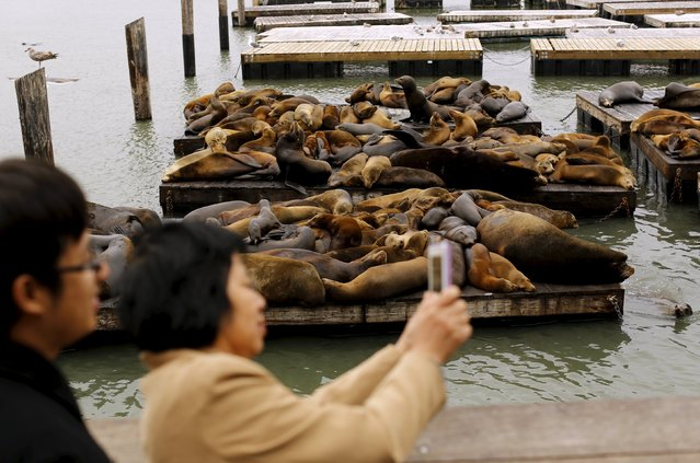 A woman takes a photograph of floating docks of sea lions at Pier 39 in San Francisco, California May 4, 2015. (Photo by Robert Galbraith/Reuters)