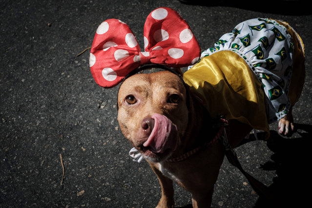 """A dog dressed in costume is seenduring the Rio Dog Carnival, known as the Blocao – with """"bloco"""" meaning street party and """"cao"""" dog, during pre- carnival celebrations at Copacabana beach in Rio de Janeiro, Brazil, on February 19, 2017. (Photo by Yasuyoshi Chiba/AFP Photo)"""