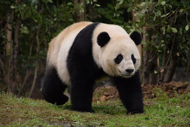 U.S.-born giant female panda Bao Bao walks at her new home, Chengdu Research Base of Giant Panda Breeding, in Chengdu, Sichuan province, China February 23, 2017. (Photo by Reuters/China Daily)