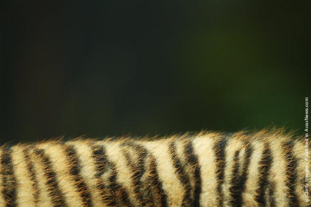 Sumatran tiger fur