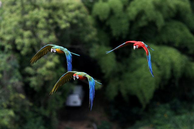 Macaws fly near Vittorio Poggiís house outside Caracas, Venezuela, June 18, 2019. (Photo by Manaure Quintero/Reuters)