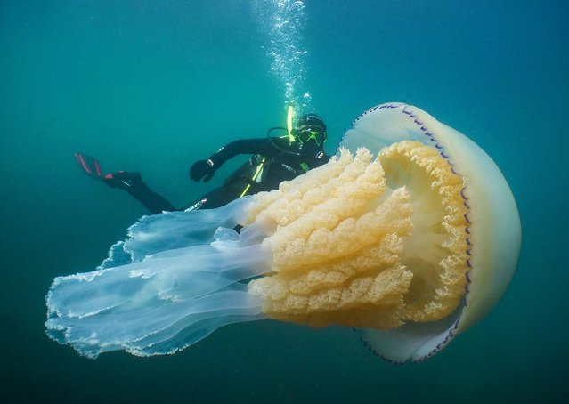 Hundreds of human-sized jellyfish have been spotted lurking around the Cornish coast in the past few days, in the middle of July 2019. Marine experts have said that there have been more sightings of these gigantic creatures this week than in the last 15 years. Barrel jellyfish are the largest species of jellyfish found in British waters, with a diameter of up to 90cm and weights of up to 35 kilos. (Photo by South West News Service)