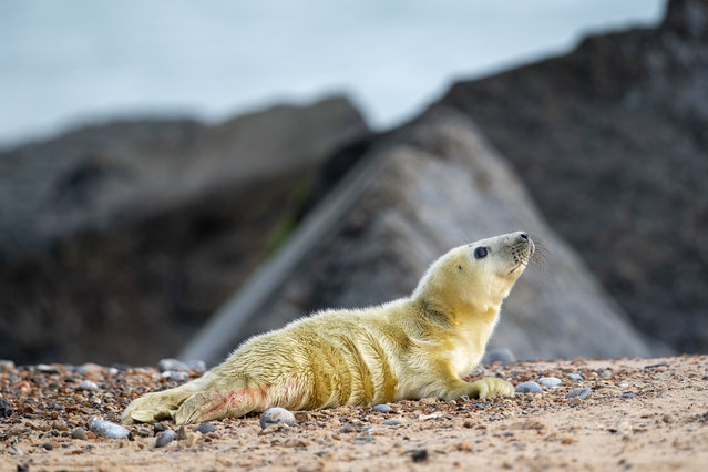 A newborn grey seal pup on the beach at Horsey in Norfolk, England on November 3, 2019 as the pupping season begins at one the UK's most important sites for grey seals. (Photo by Joe Giddens/PA Images via Getty Images)