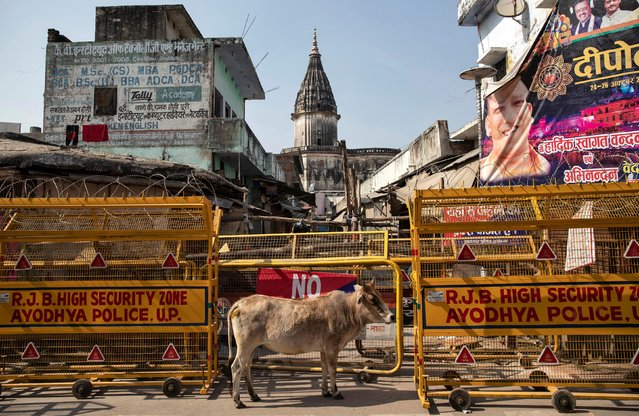 A cow stands in front of a security barricade in a street in Ayodhya, India, November 9, 2019. (Photo by Danish Siddiqui/Reuters)