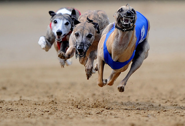 Whippets  run during a dog race in Gelsenkirchen, Germany, on June 8, 2014. (Photo by Jonas Guettler/DPA)