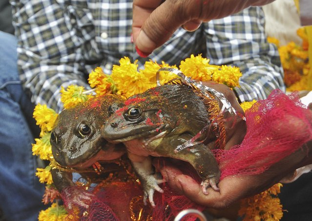 People hold frogs as they solemnise a frog marriage in the central Indian city of Nagpur June 12, 2014. The frog marriage is a traditional ritual observed by the rural folk to appease the gods to bring in rain and ensure a good harvest. (Photo by Reuters/Stringer)