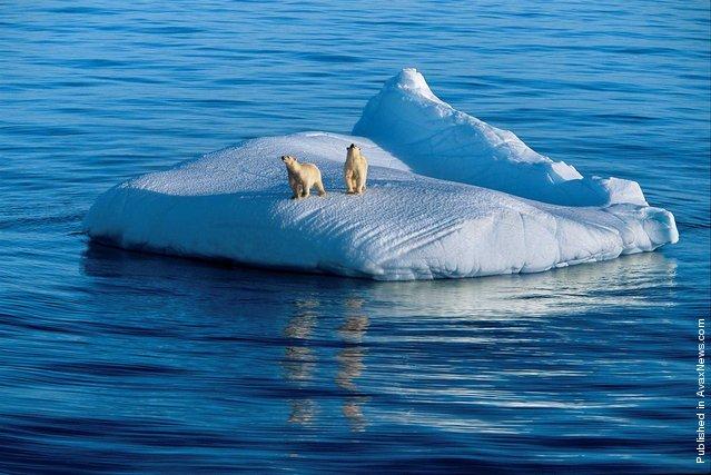 Polar bear and her two young drift on an ice floe. Gudzonov diarrhea, Nunavut, Canada