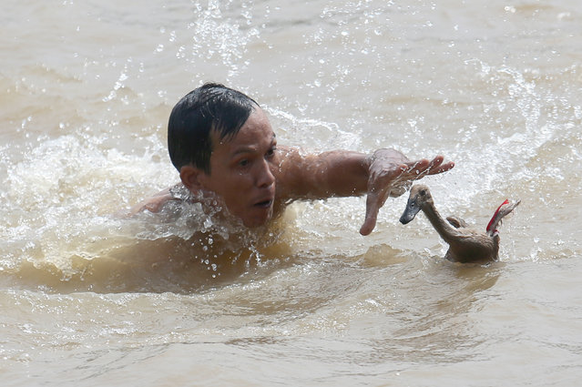 "A man tries to catch a duck during a competition held as a part of the Dragon Boat Festival, known locally as ""Peh Cun Festival"", on the Cisadane river in Tanggerang, Indonesia, Thursday, June 9, 2016. The event is celebrated every fifth day of the fifth month on the Chinese lunar calendar. (Photo by Tatan Syuflana/AP Photo)"