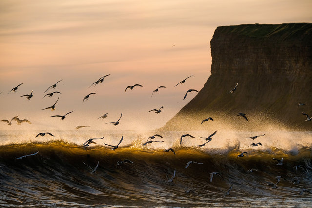 Seabirds fly among breaking waves at sunrise on Saltburn beach on July 04, 2019 in Saltburn-By-The-Sea, England. (Photo by Ian Forsyth/Getty Images)