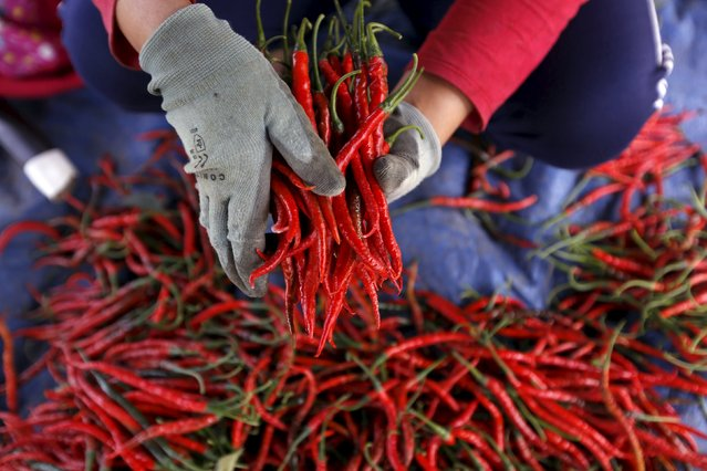A worker holds harvested chillies at a chilli plantation in Pasir Datar Indah village near Sukabumi, Indonesia's West Java province, August 6, 2015. (Photo by Reuters/Beawiharta)