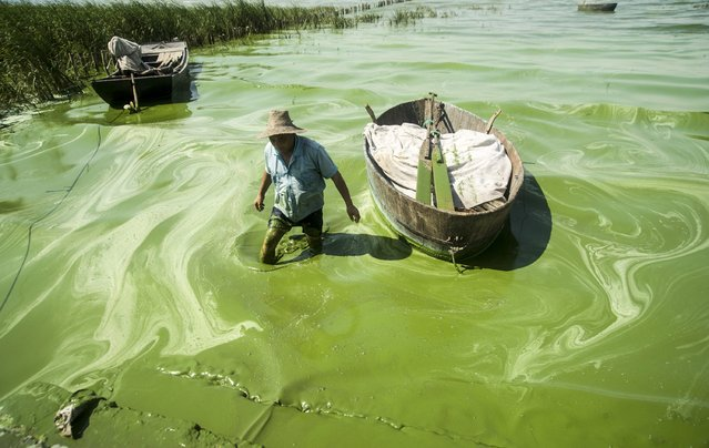 A fisherman wades in Chaohu Lake, covered in blue-green algae, in Chaohu city, Anhui province, July 19, 2013. (Photo by Reuters/China Daily)