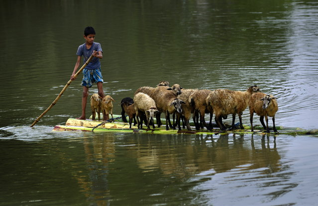 A boy transports his sheeps on a banana raft in the flood affected Morigaon district of Assam state, India, August 23, 2015. Flash floods, triggered by heavy rains in the past few days, have affected nearly 300,000 people in thirteen districts of Assam state with some 1,000 villages submerged in water. (Photo by EPA/Stringer)