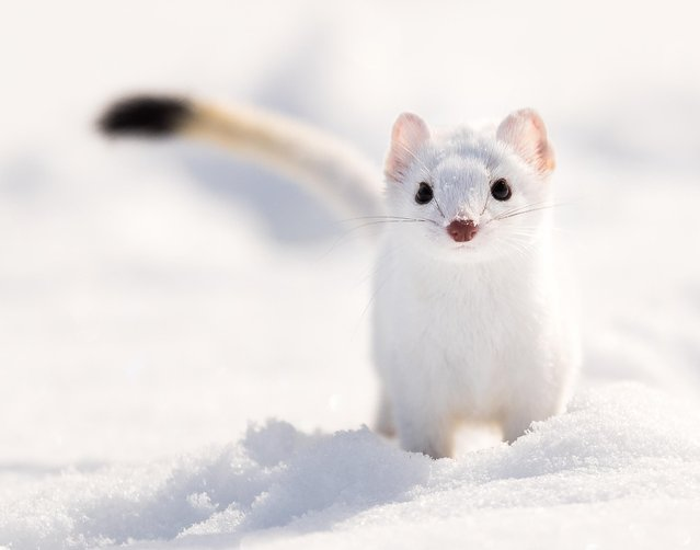 "On Dale A. Browne's first trip to Yellowstone, he ""got the best shot"" he'd ever taken after chasing this weasel for 30 minutes. The trip for the 58-year-old from Manassas, Va., was a gift from his wife and an opportunity to improve his photography skills with the help of guide and professional photographer Tom Murphy. (Murphy did not assist in the taking of this photo). (Photo by Dale A. Browne)"