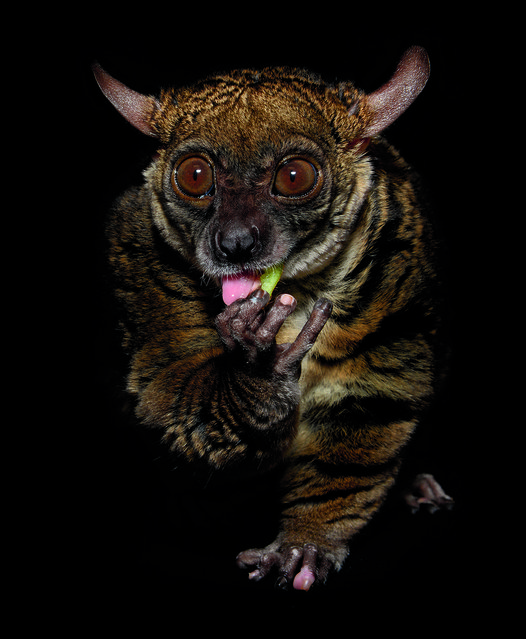 Galagos, more commonly known as bush babies, are tiny African primates with remarkable jumping abilities. Thanks to the elastic energy stored in the tendons of their lower legs, small-eared galagos can jump 6 feet straight up in the air. (Photo by Traer Scott/Chronicle Books)