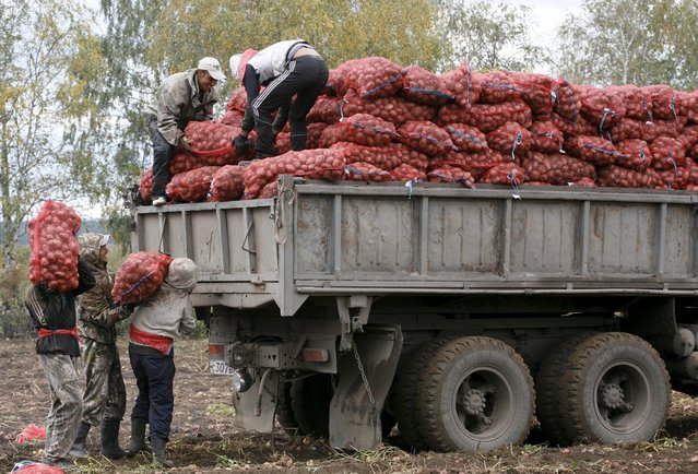 Migrant workers from Uzbekistan load sacks of potatoes into a truck at a private agrarian field in the village of Beryozovka near Russia's Siberian city of Krasnoyarsk, Russia, September 7, 2015. (Photo by Ilya Naymushin/Reuters)